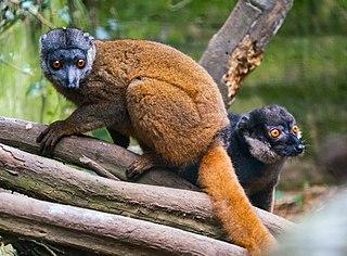 Gray-headed lemur Species of lemur