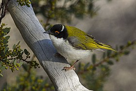 White-naped Honeyeater - Little Desert NP - Victoria S4E4614-2 (21789940973).jpg