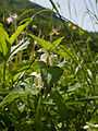 White Deadnettle (Lamium album) (4654703676).jpg