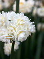White Jonquils.jpg