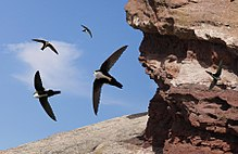 White Throated Swift From The Crossley ID Guide Eastern Birds.jpg