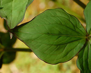 Trillium grandiflorum - Detail of a leafy bract showing engraved venation