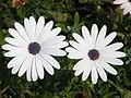 White osteospermum.jpg