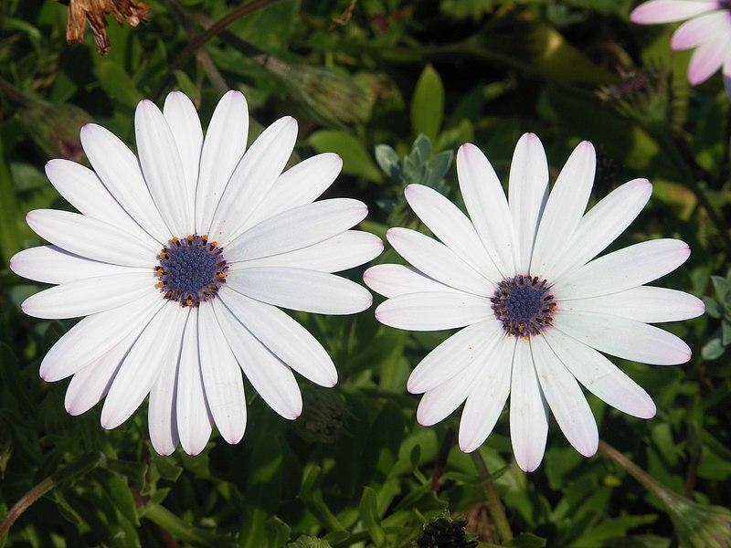 File:White osteospermum.jpg