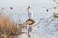 White pelican (32322329265).jpg