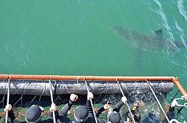 White shark cage diving, Gansbaai