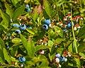 Wild Blueberry Bush (19456699639).jpg