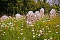 Wild flowers in churchyard, Mottistone, Isle of Wight - geograph.org.uk - 1366295.jpg