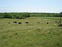 Wildlife Prairie Park 2007-05-27 Bison 5.jpg