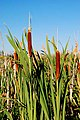 Wildlife Refuge Cattails (Morrow County, Oregon scenic images) (morDA0037).jpg