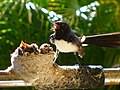 Willy Wagtail nest.JPG