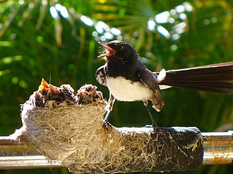 Willie wagtail - A well-guarded nest
