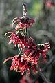 Witch Hazel In Flower 10 In Garden. Hampshire UK.jpg