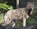 Wolf 2 (5696464597).jpg
