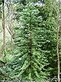 Wollemi Pine.jpg