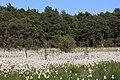 Wollgrasblüte im Naturschutzgebiet Schnaakenmoor (2018-05-27 WDPA ID 82537).jpg