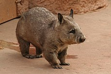 Wombat in zoo.jpg