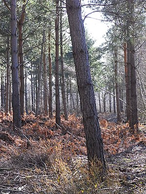 Speen, Berkshire - Wickham Heath (pictured) occupies the far west of the parish and has plantations of trees, such as conifers which are felled for pulp and wood products