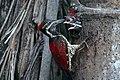 Woodpeckers Srilanka.jpg