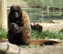Woolly Monkey.jpg