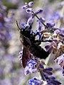 Xylocopa violacea Luberon 03.jpg