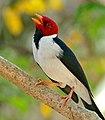 Yellow-billed Cardinal (Paroaria capitata) (30849375423).jpg