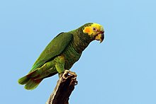 Yellow-faced parrot (Alipiopsitta xanthops) green morph.JPG