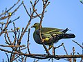 Yellow-footed green pigeon 06.jpg