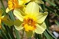 Yellow Daffodil.jpg