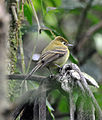 Yellowish Flycatcher (7149742039).jpg