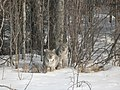 Young Lynx spotted west of Drayton Valley Ab - panoramio.jpg