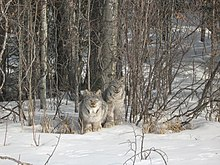 Two Canada lynxes sitting in the snow in a boreal forest