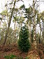 Young cypress tree - geograph.org.uk - 641900.jpg
