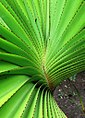 Young rosette of Rodrigues screwpine - Pheterocarpus - 5 senses 2.jpg