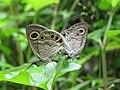Ypthima huebneri – Common Four-ring mating 10.jpg