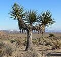 Yucca schidigera 18.jpg