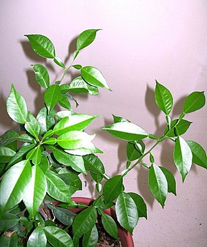 Citrus junos - The leaves have large leaf-like petioles.