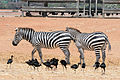 Zebras and a Flock of Ibis.JPG
