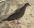 Zenaida asiatica, San Andrés (4).jpg
