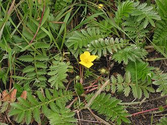 Stolon - Common Silverweed (Argentina anserina) picture showing red stolons.