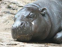 Hippopotamus  Wikipedia