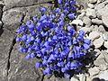 Zwerg-Glockenblumen - Aufstieg Geißhorn - 1. Tag (9800503866).jpg