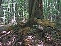 """""""Hubový strom"""" - panoramio.jpg"""