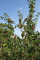 'Malus Rajka' tree Capel Manor College Gardens Enfield London England.jpg