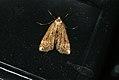 (1354) Small China-mark (Cataclysta lemnata) (3673716691).jpg