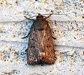 (2299) Mouse Moth (Amphipyra tragopoginis) (9430689622).jpg