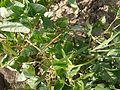 ¿ Vigna unguiculata subsp. cylindrica ? (4666721224).jpg