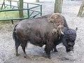 Żubr w poznańskim zoo.JPG
