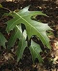 Американски червен дъб - листа.jpg