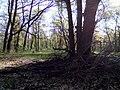 Апостоловский лес сова.jpg